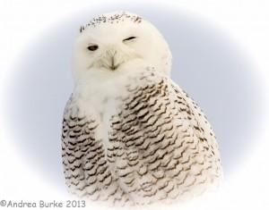 Snowy Owl. Copyright 2013, Andrea Burke