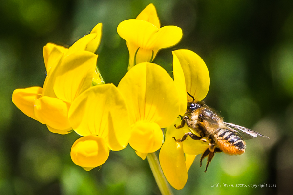Honey Bee on Birds-foot-trefoil. Copyright 2013, Eddie Wren