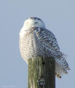 Snowy Owl. Copyright 2014, Jennifer Grande.
