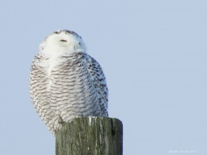 Snowy Owl. Copyright 2014, Jennifer Grande