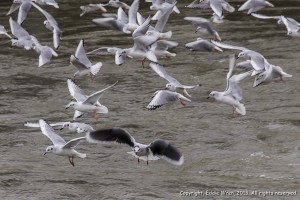 One little gull (dark under-wings) among Bonaparte's gulls