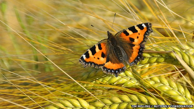 Small tortoiseshell butterfly (Aglais urticae) on barley - Tim Melling - Butterfly Conservation