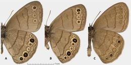 Intricate satyr (A) and Carolina satyr (B) are very similar in wing patterns despite being more evolutionarily distant from each other, but south Texas satyr (C) is distinguished by smaller eye spots and wavier lines, yet is much closer related to Carolina
