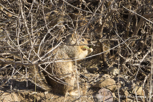 Two California Ground Squirrels. (The eye of the well-camouflaged, second animal is up and to the right from the eye of the front one.)