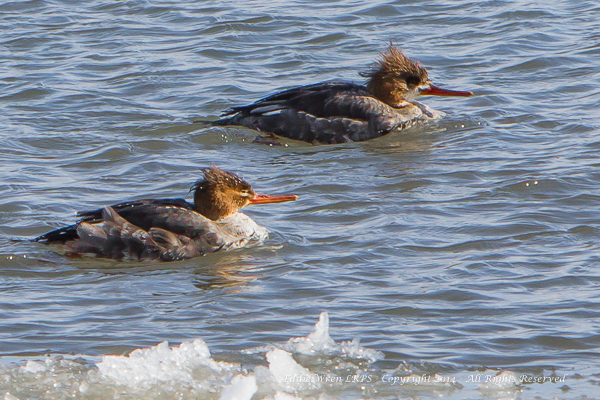 Two Red-breasted Mergansers -- a definite female in the foreground, with an apparent first-winter bird behind.