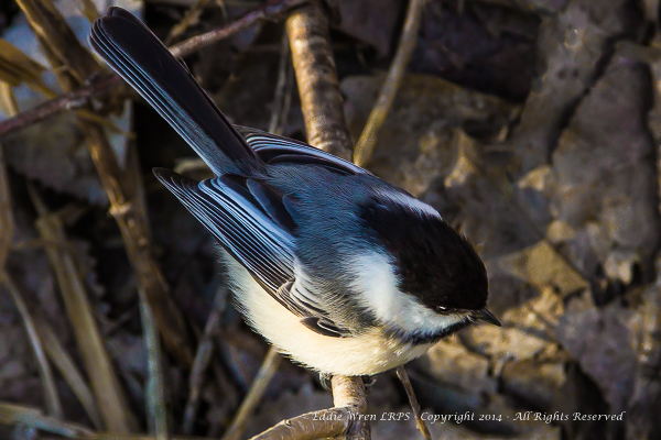 Black-capped Chickadee foraging