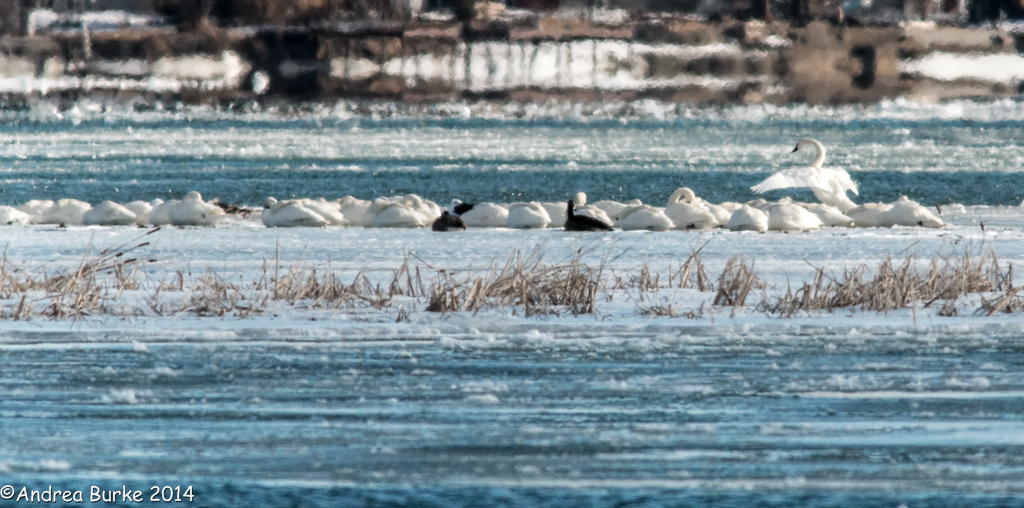 Tundra Swans (with a couple of Canada Geese) resting on an island in the Niagara River