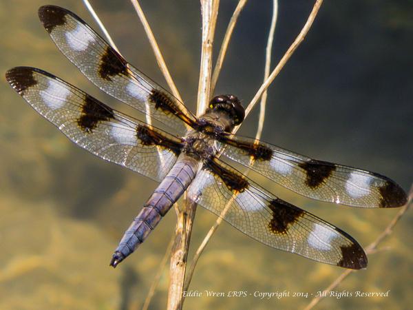 Twelve-spot Skimmer (Western New York State). Photo copyright, 2010, Eddie Wren.  All rights reserved.