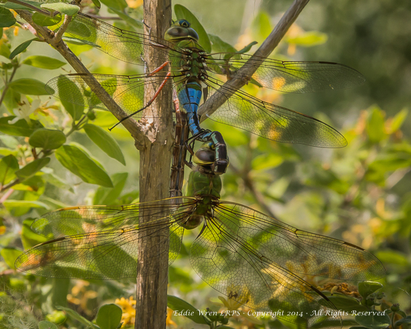 Common Green Darners mating (male at top of photo). Photo copyright 2013, Eddie Wren.  All rights reserved.