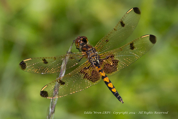 Female Calico Pennant (Western NY). Photo copyright 2013, Eddie Wren.  All rights reserved.