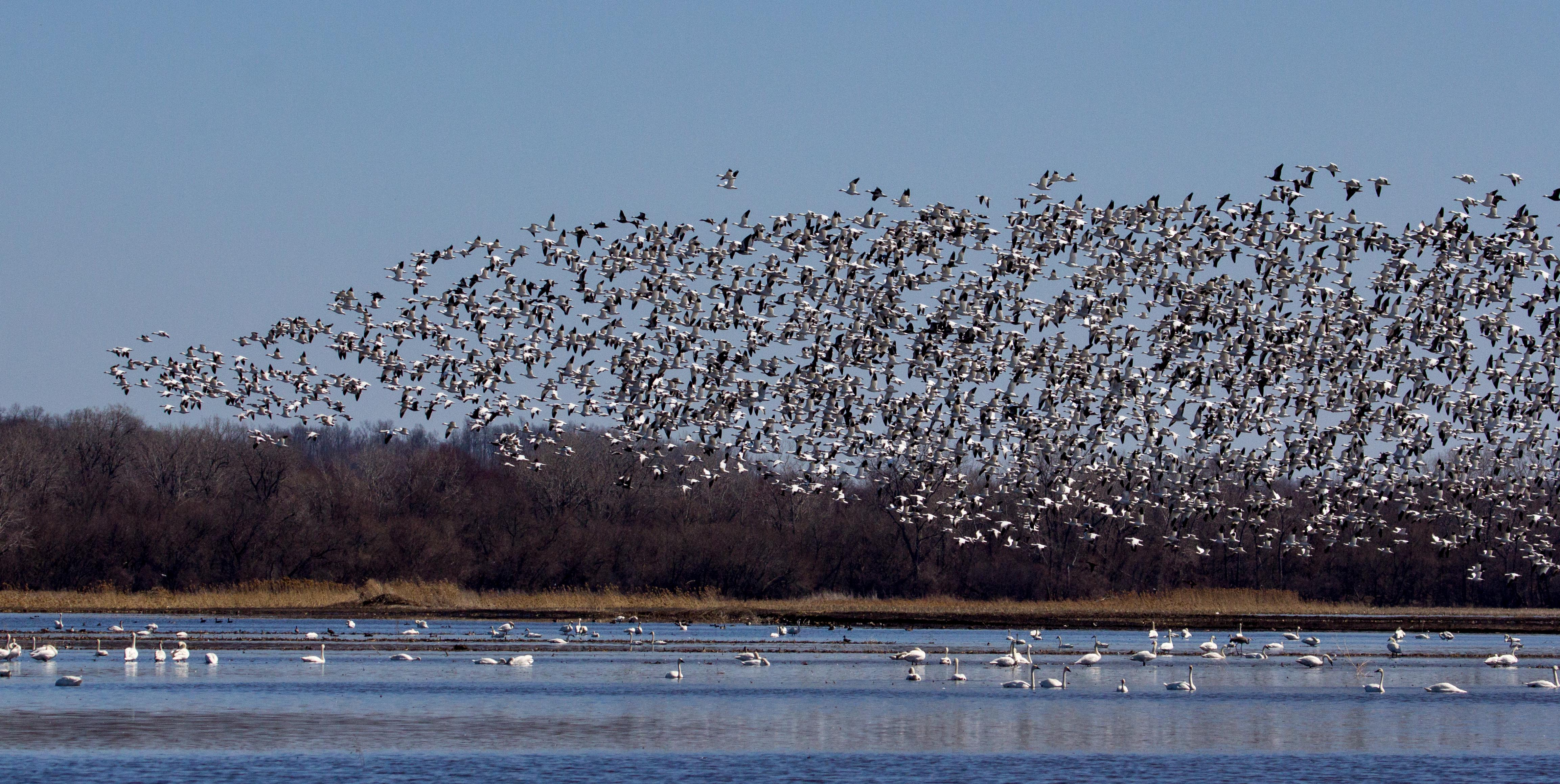 Snow Geese. Esther Kowal-Bukata. Copyright, 2014. All rights reserved.