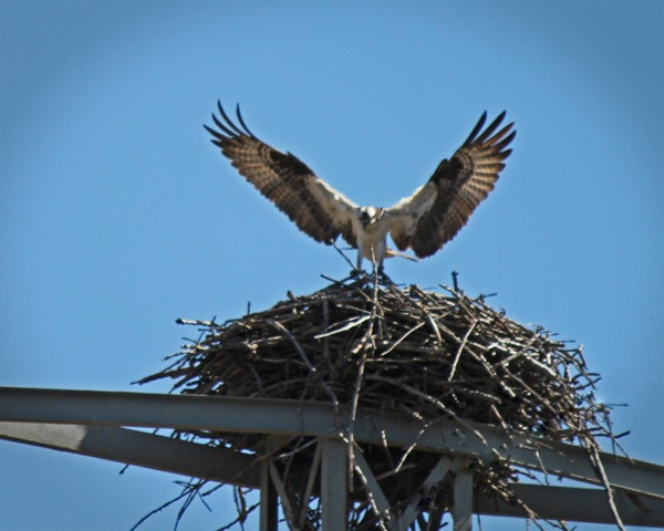 Osprey at nest, by Kathy Fenna. Copyright 2014. All rights reserved.