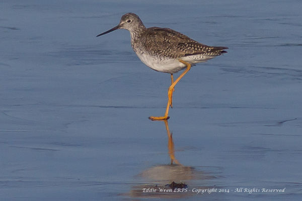 Lesser Yellowlegs. Copyright 2014, Eddie Wren, all rightes reserved.