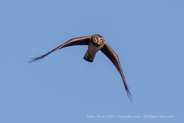 Northern Harrier (female). Copyright 2014, Eddie Wren, all rightes reserved.