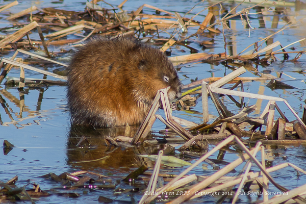 Muskrat. Copyright 2014, Eddie Wren.  All rights reserved.