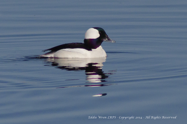 Bufflehead (male). Copyright 2014, Eddie Wren.  All rights reserved.
