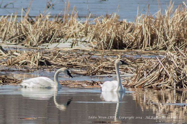 Trumpeter Swans. Copyright 2014, Eddie Wren, all rightes reserved.