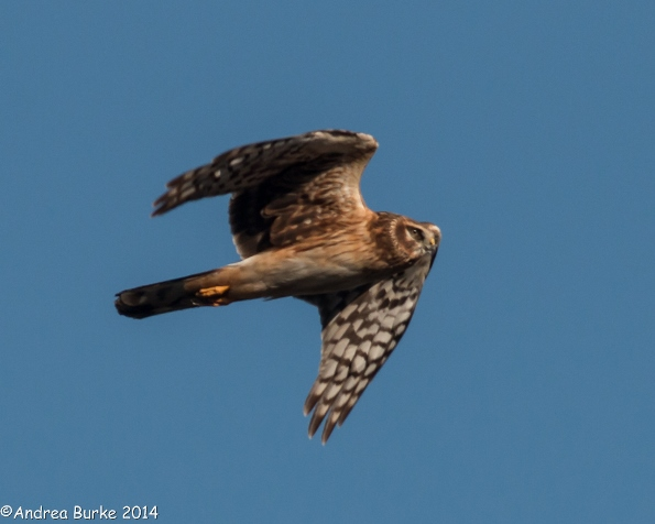 Northern Harrier (female) in flight, by Andrea Burke. Copyright 2014. All rights reserved.