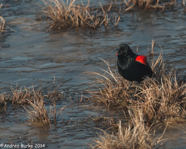 Red-winged Blackbird (male), by Andrea Burke. Copyright 2014. All rights reserved.