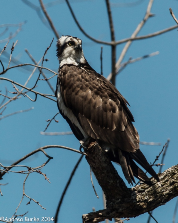 Osprey by Andrea Burke. Copyright 2014. All rights reserved.