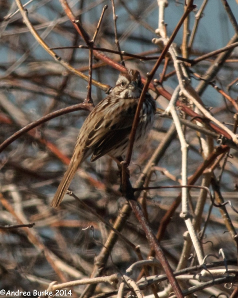 Song Sparrow, by Andrea Burke. Copyright 2014. All rights reserved.
