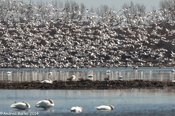 And last but not least, by Andrea Burke, Snow Geese in flight (1). Copyright 2014. All rights reserved.