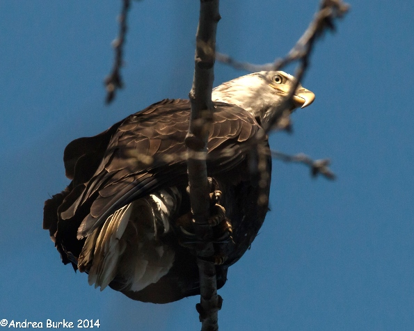 Bald Eagle (adult), by Andrea Burke. Copyright 2014. All rights reserved.