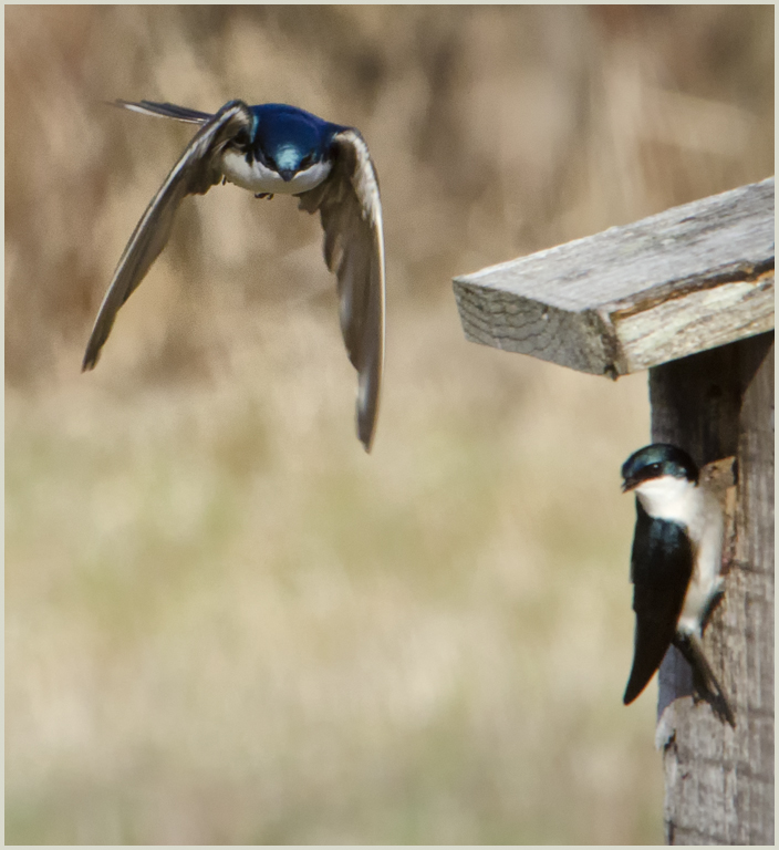 Tree Swallows at nestbox. CVopyright 2014, Cherie St. Pierre. All rights reserved.