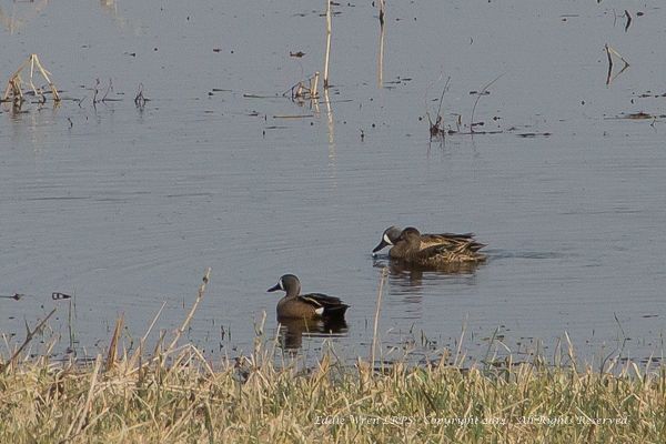 Blue-winged Teal. Copyright 2014, Eddie Wren.  All rights reserved.