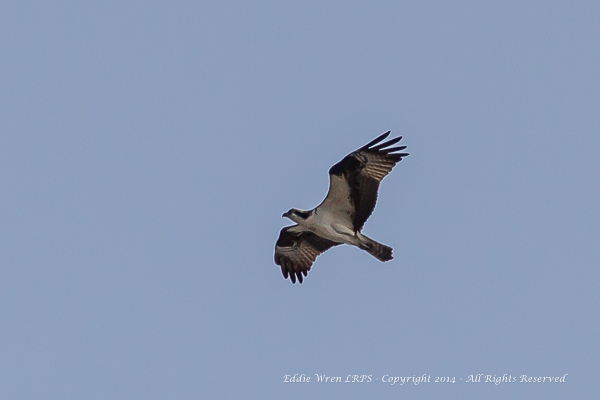 Osprey. Copyright 2014, Eddie Wren.  All rights reserved.