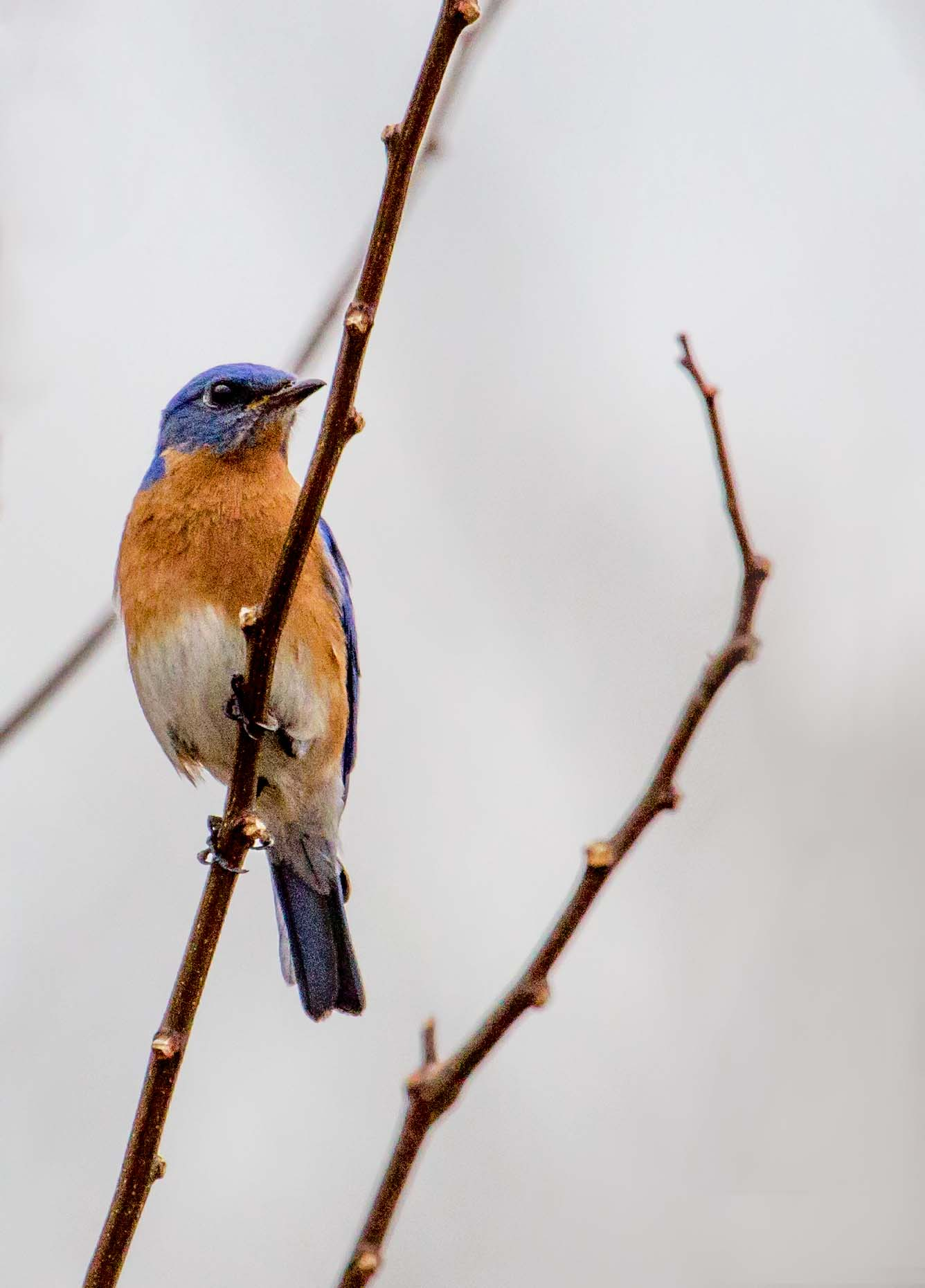 Eastern Bluebird.  Copyright, Esther Kowal-Bukata, 2014.  All rights reserved.