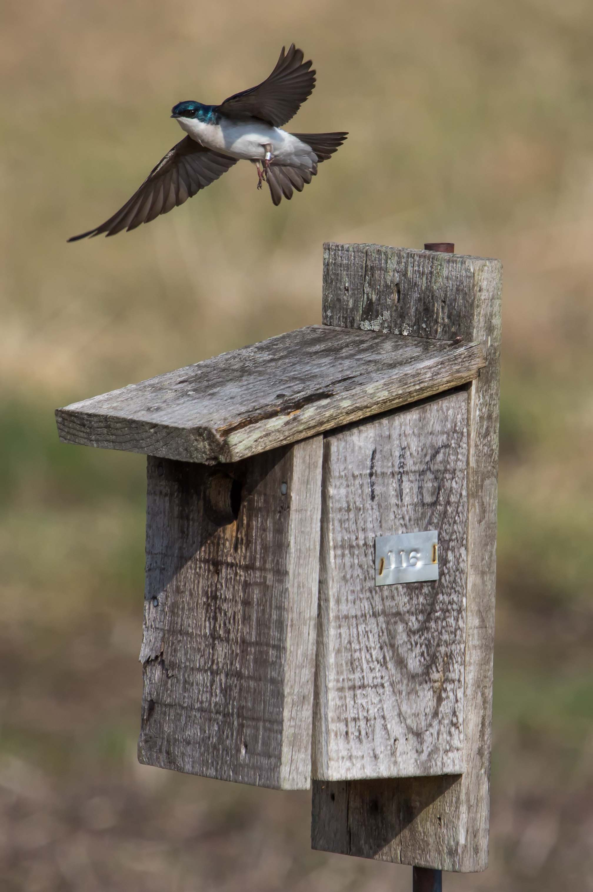 Tree Swallow.  Copyright, Esther Kowal-Bukata, 2014.  All rights reserved.