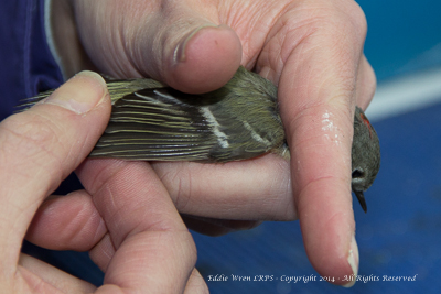 Ruby-crowend Kinglet's wing. Photo copyright, 2014, Eddie Wren.  All rights reserved.
