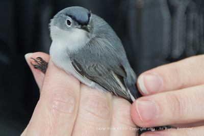 Blue-gray Gnatcatcher.  Photo copyright, 2014, Eddie Wren.  All rights reserved.