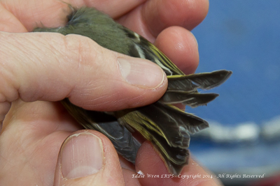 Ruby-crowned Kinglet's tail. Photo copyright, 2014, Eddie Wren.  All rights reserved.