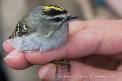 Golden-crowned Kinglet.  Photo copyright, Eddie Wren, 2014. All rights reserved.
