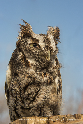 Captive (rescued) Eastern Screech Owl.  Photo copyright, 2014, Eddie Wren.  All rights reserved.
