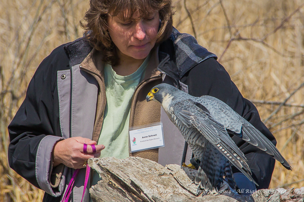 Anne Schnell of Braddock Bay Raptor Research, with a rescued Peregrine Falcon.  Photo copyright, 2014, Eddie Wren.  All rights reserved.