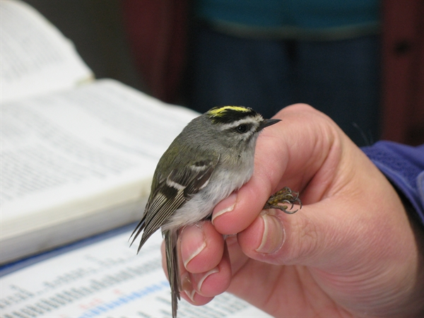 Golden-crested Kinglet during banding.  Photo copyright, 2014, Jan Barton.  All rights reserved.