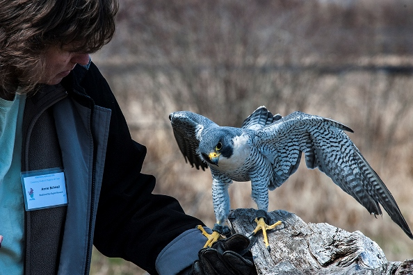 Peregrine demonstration.  Photo copyright, 2014, Jan Barton.  All rights reserved.