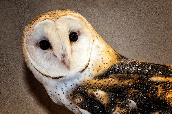 Captive Barn Owl. Photo copyright, 2014, Maureen Szuniewicz.  All rights reserved.