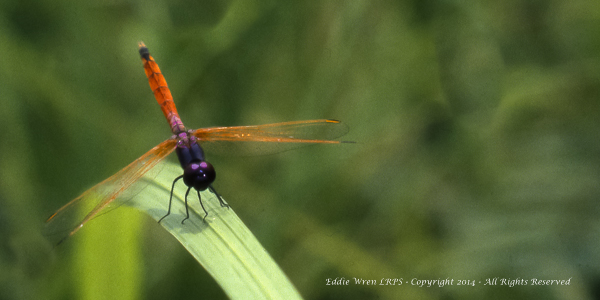 The stunning looks of a small African dragonfly (Cameroon).  Photo copyright 1981, Eddie Wren.  All rights reserved.