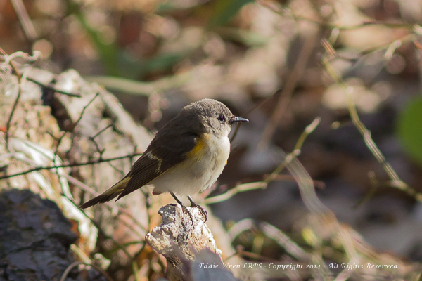 An immature American Redstart (i.e. one of last year's young).