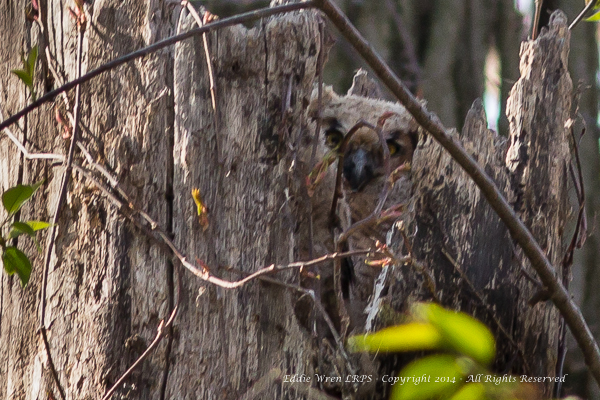 Great Horned Owl chick/owlet, absolutely motionless, watching us watching it!  Photo copyright 2014, Eddie Wren.  All rights reserved.