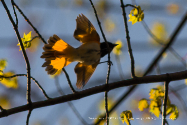 An adult male American Redstart with the sun glowing through his tail. Photo copyright 2014, Eddie Wren. All rights reserved.
