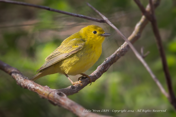 A lightly-marked Yellow warbler, indicating that it is a female. (Males have red or rust-coloured streaking on the breast.)  Photo copyright 2014, Eddie Wren. All rights reserved.
