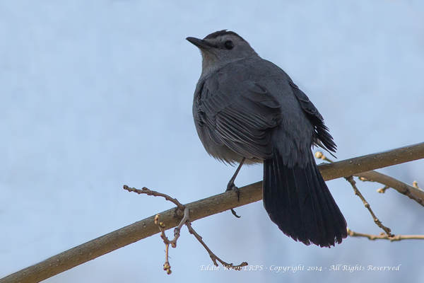 One of nature's great mimics: the Gray Catbird.  Photo copyright 2014, Eddie Wren. All rights reserved.