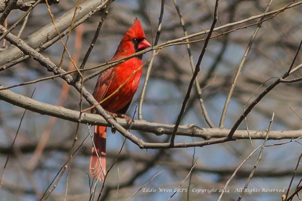 Ever spectacular, a male Northern Cardinal.  Photo copyright 2014, Eddie Wren.  All rights reserved.