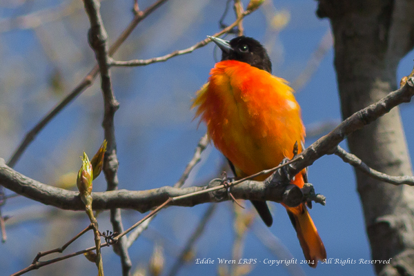 A male Baltimore Oriole singing.  Photo copyright 2014, Eddie Wren.  All rights reserved.