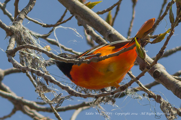 A male Baltimore Oriole in the early stages of building a nest. (One of the materials that can be seen here is discarded fishing line, which can be dangerous to some wildlife and should always be taken away and destroyed.)   Photo copyright 2014, Eddie Wren.  All rights reserved.